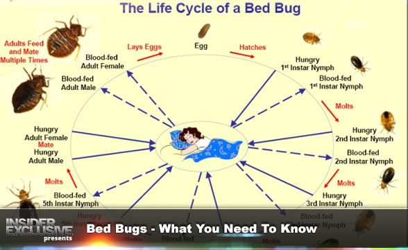 Bed Bugs - What You Need To Know